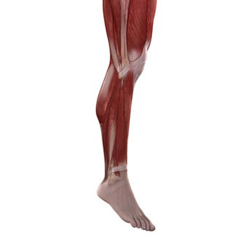 leg muscle structure